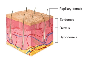 structure and functions of skin - dermo-cosmetic tips | uniprix, Cephalic Vein